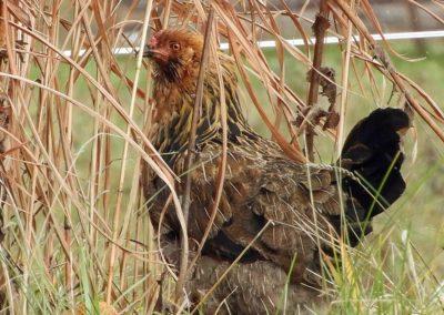 Chicken on grass   Second Wind Country Inn, Ashland, WI