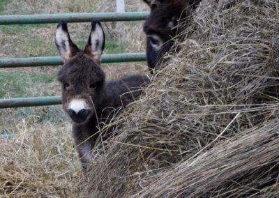 Peekaboo Donkeys   Second Wind Country Inn, Ashland, WI
